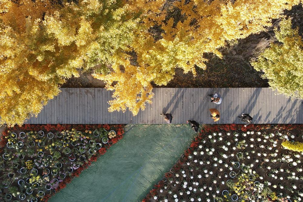 11月8日,游客在沙河市白塔镇栾卸村菊花园游览(无人机照片)。